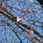2019.3.18 江戸彼岸開花
