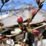 2019.3.17 ヨウコウの花芽もほころんで来ました