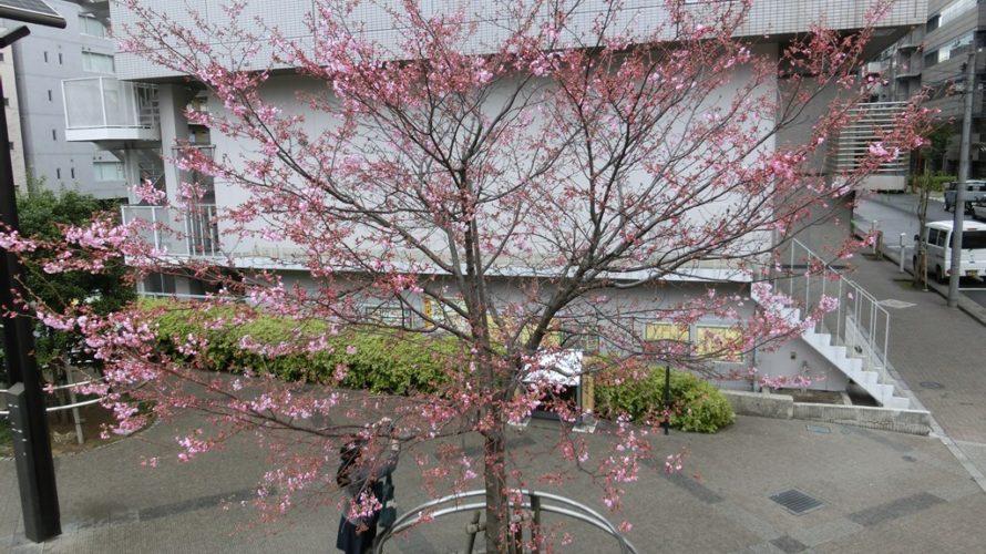 秋葉原ヨウコウは2分咲き位