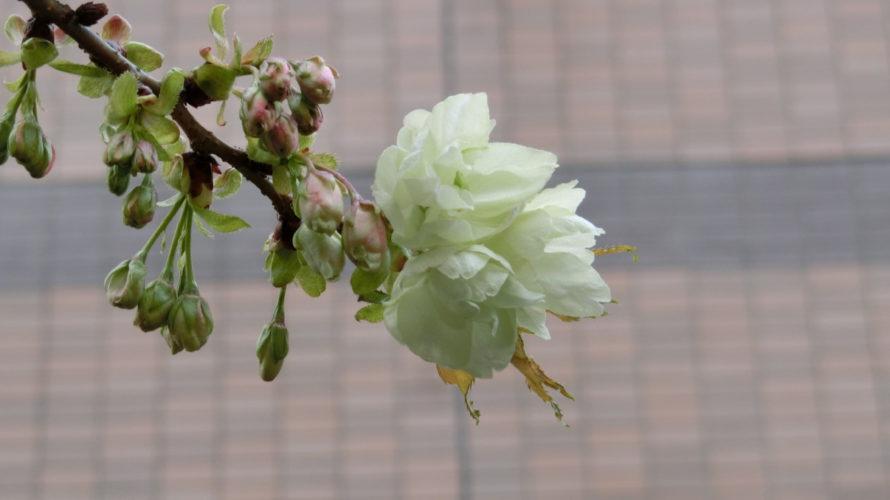 秋葉原柳森神社の御衣黄?開花