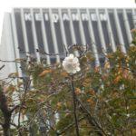 神田橋の冬桜も開花