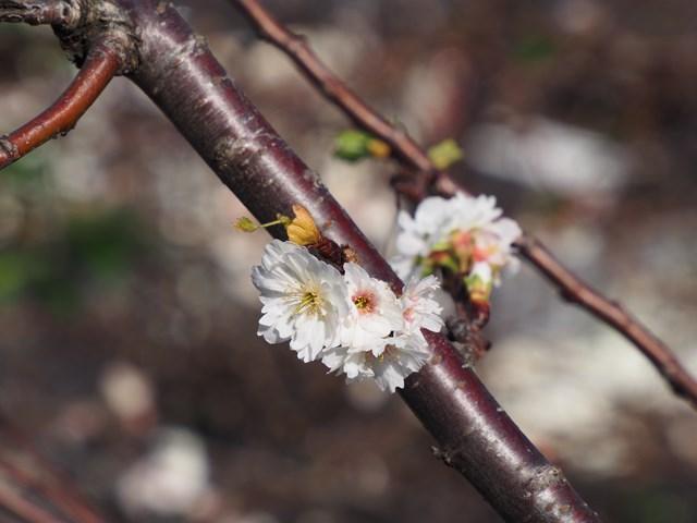 赤坂見附の十月桜