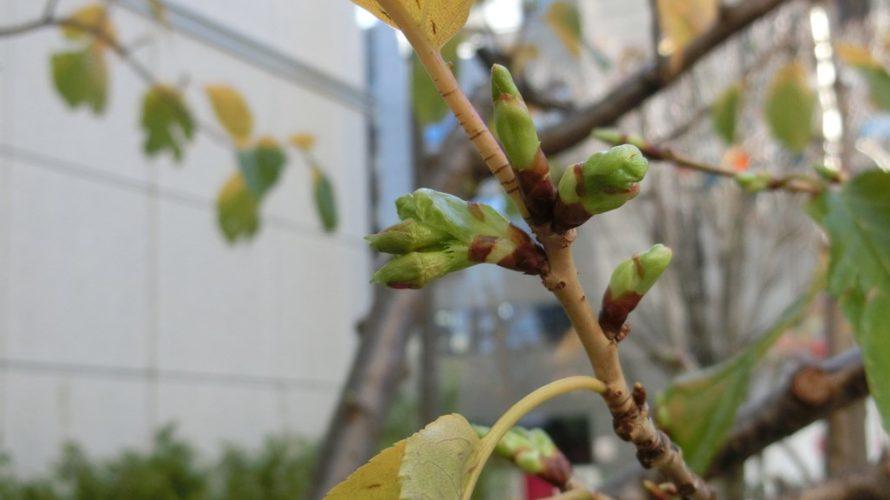 錦三七五三太公園横の河津桜