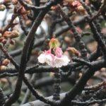 寒桜開花しました