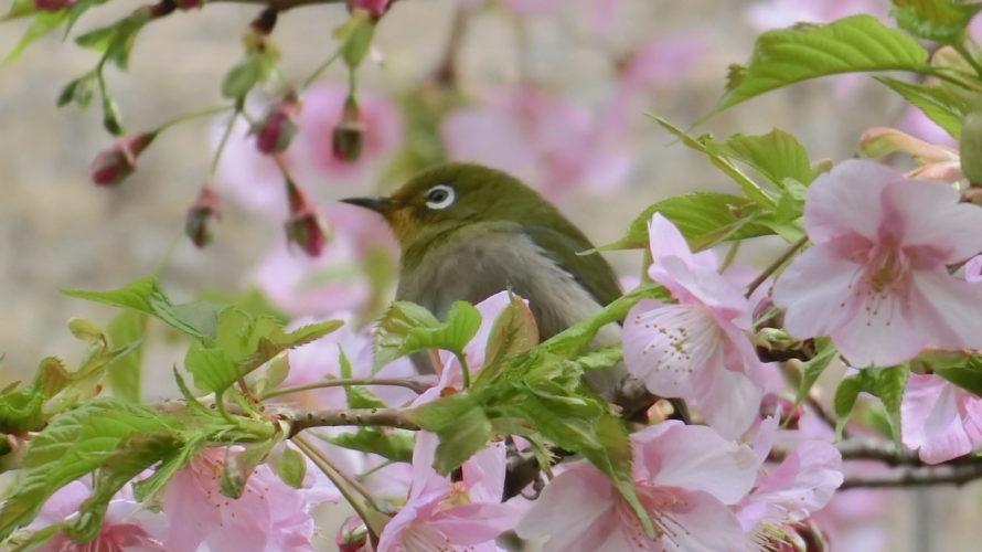 河津桜は満開