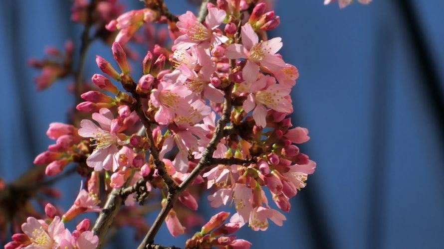 オカメザクラも開花