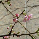 河津桜も開花しました
