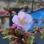 千鳥ヶ淵緑道の修善寺寒桜開花