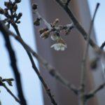 西洋実桜も開花(一昨年より10日も早い!)