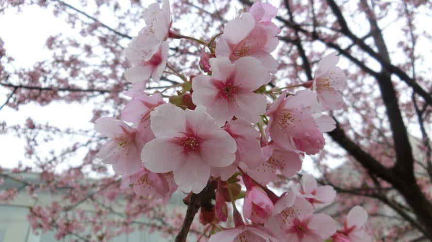 実桜は満開、修善寺寒桜は葉が出始め
