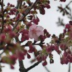 小彼岸桜と陽光が開花