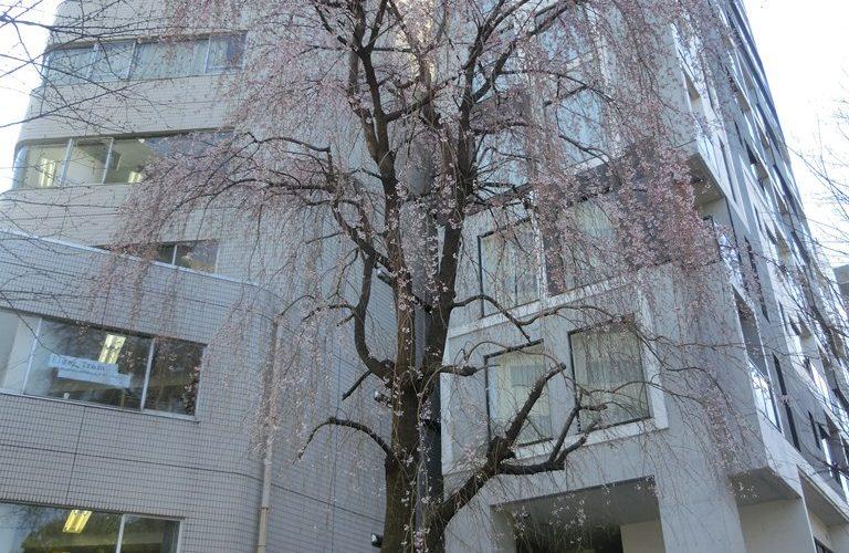 三春の滝桜の子孫樹