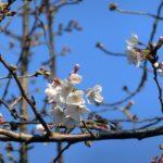 ソメイヨシノは少しづつ開花