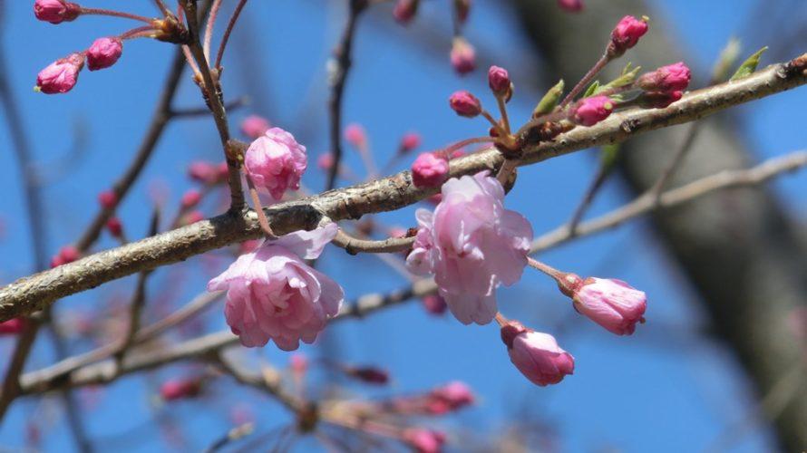 千鳥ヶ淵公園の舞姫開花