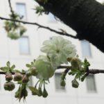 秋葉原柳森神社のウコン桜開花