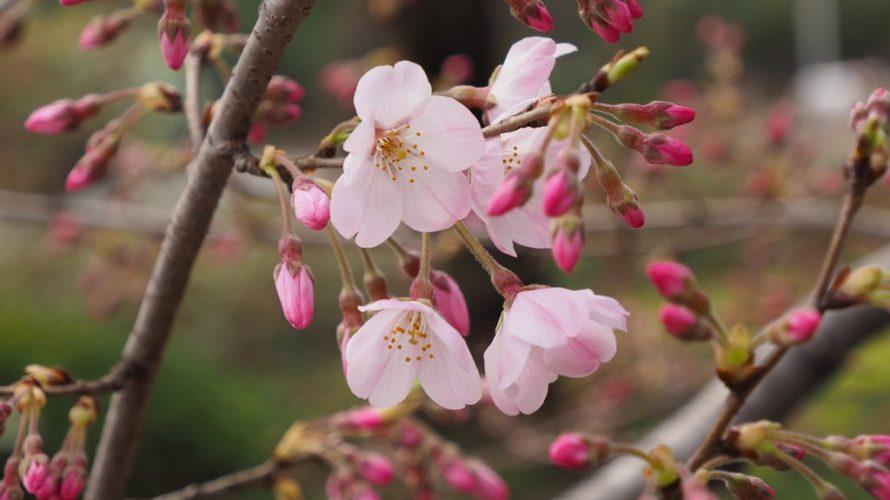ジンダイアケボノ(神代曙)開花
