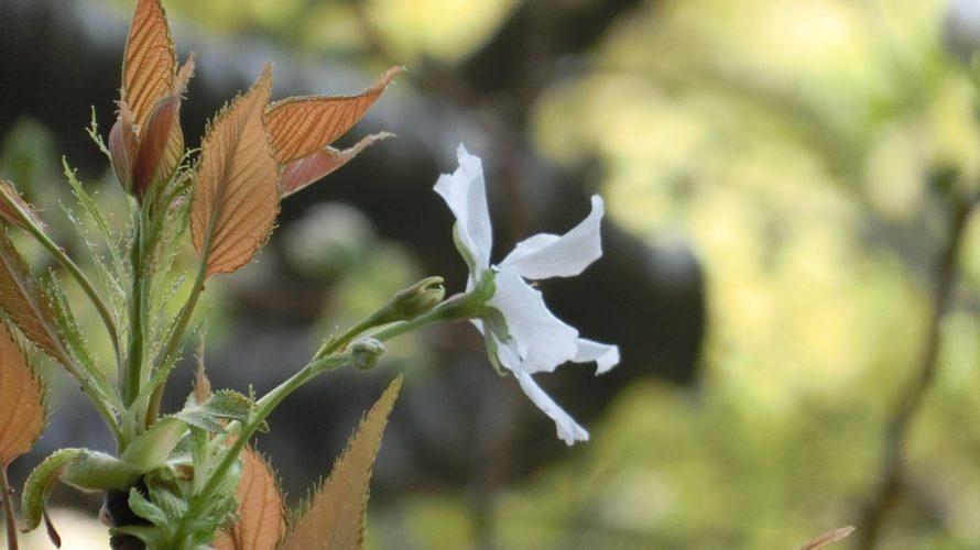 遅咲きの桜(鬱金、駿河台匂、八重桜)