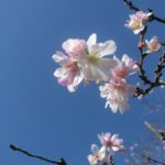 十月桜と冬桜