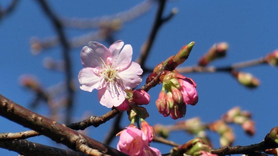 令和3年河津桜開花
