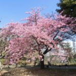 今日は21℃と春の陽気で河津桜満開に