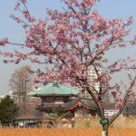 区外の桜を廻りました
