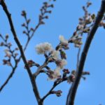 西洋実桜も開花(昨年並み)