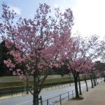 代官町通りでは、陽光、山桜、大島桜が咲いています(動画あり)