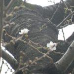 枝先の染井吉野も開花(昭和館横のスロープ近く)