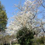 千鳥ヶ淵緑道で見頃は、大島桜と小彼岸桜のみ