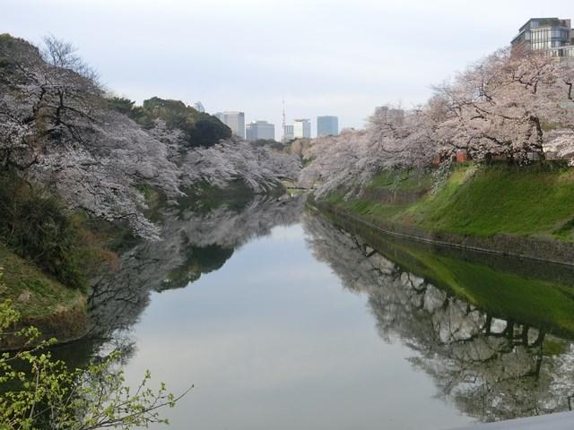 今朝の千鳥ヶ淵緑道 桜のトンネル(動画)